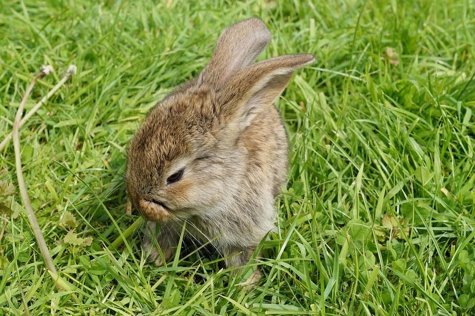 conejo en cesped
