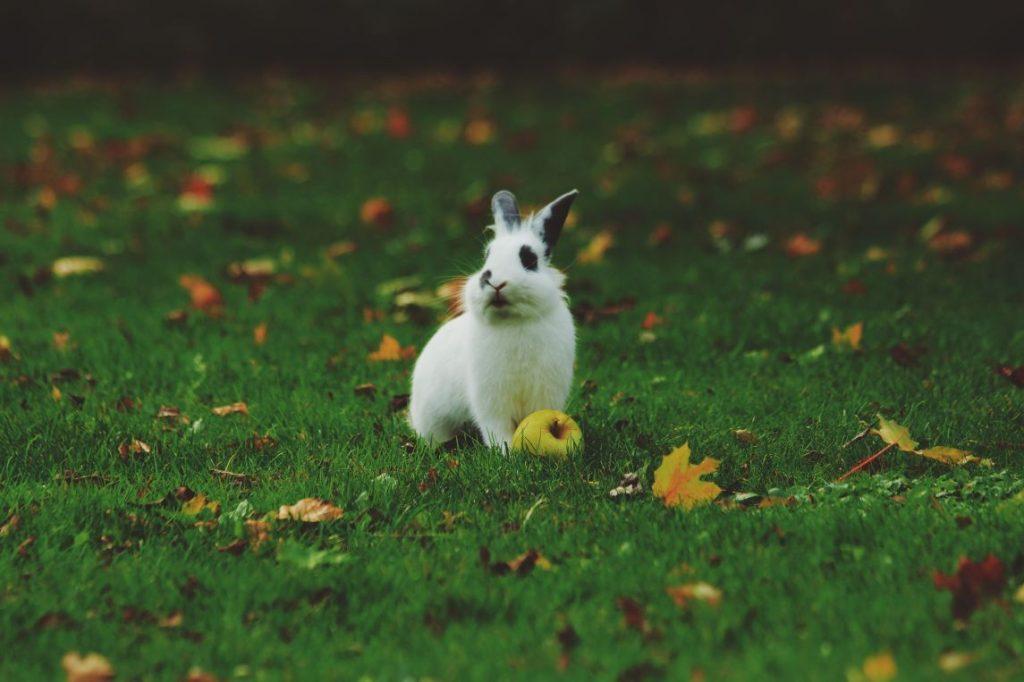 conejo en el césped